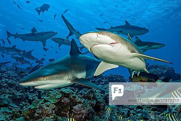 Grey reef shark (Carcharhinus amblyrhynchos) on the left  Blacktip reef shark (Carcharhinus melanopterus) on the right  pack of reef sharks in the background  Pacific Ocean  Yap Island  Caroline Islands  Federated States of Micronesia