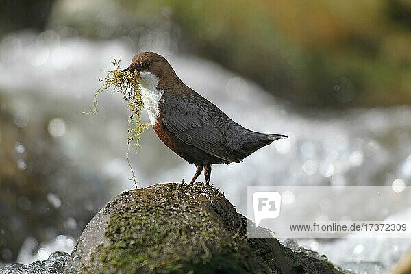 White breasted dipper (Cinclus cinclus) Old bird with nesting material on mountain stream  Allgäu  Bavaria  Germany  Europe