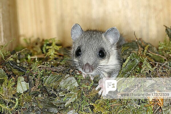 Edible dormouse (Glis glis) in a nesting box as a summer roost  animal portrait  Siegerland  North Rhine-Westphalia  Germany  Europe