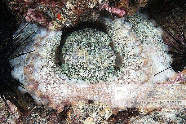 Gemeiner Krake (Octopus vulgaris) blockiert mit seinen Fangarmen Eingang von Versteck  Ostatlantik  Fuerteventura  Kanarische Inseln  Spanien  Europa Gemeiner Krake (Octopus vulgaris) blockiert mit seinen Fangarmen Eingang von Versteck, Ostatlantik, Fuerteventura, Kanarische Inseln, Spanien, Europa