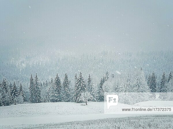 Winter snowfall landscape in Carpathian mountains. Wonderful idyllic snowing scene with a bench under a lone tree in front of a coniferous forest under snow. Foggy white woodland sceneryin Bukovel  Ukraine  Europe