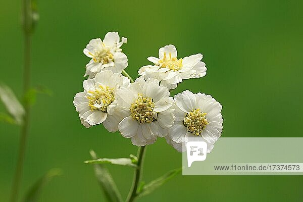 Fine leaved water dropwort (Oenanthe aquatica)  flower  flowering  perennial  marsh plant  water plant  Ellerstadt  Germany  Europe