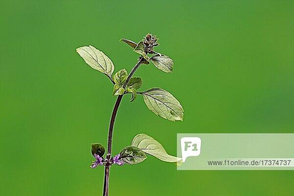Shrub Basil (Ocimum basilicum) Magic Blue (Magic Blue)  plant  leaves  flowers  Ellerstadt  Germany  Europe