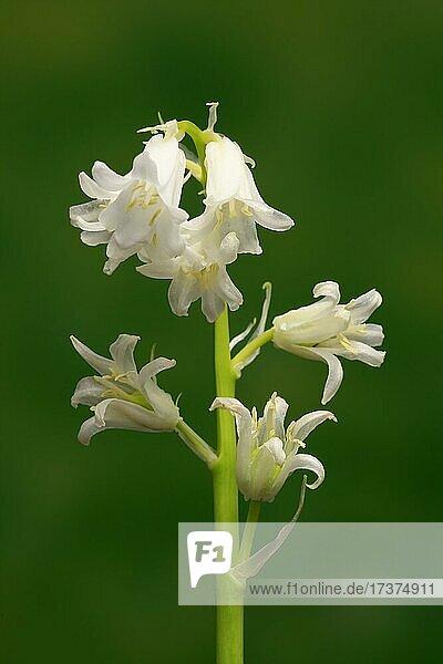 Spanish bluebell (Hyacinthoides hispanica)  bell hyacinth  wood hyacinth  flower  flowering  flower  Ellerstadt  Germany  Europe
