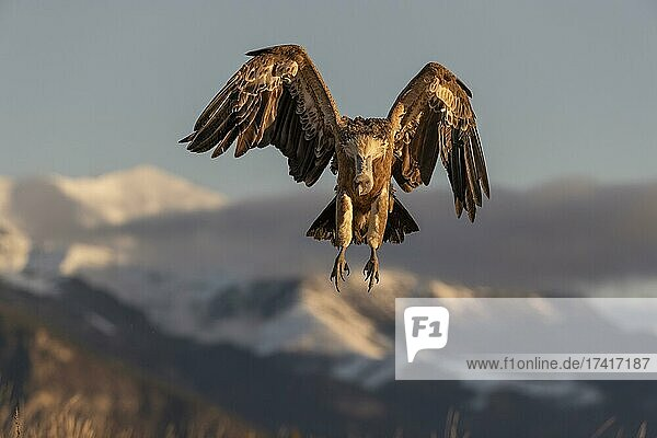 Griffon vulture (Gyps fulvus) on approach with snow-capped mountains in the background  Pyrenees  Catalonia  Spain  Europe