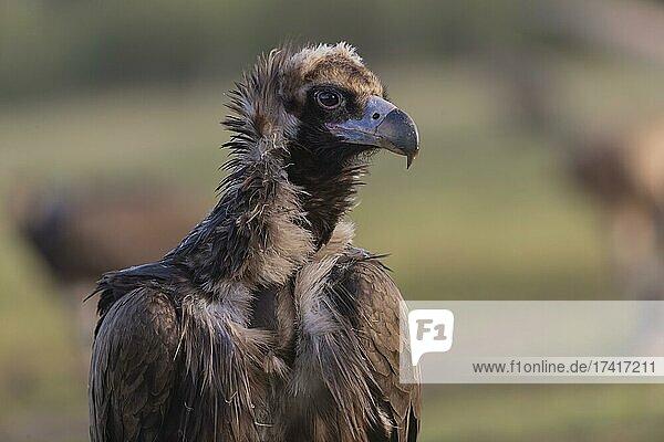 Cinereous vulture (Aegypius monachus) portrait  Extremadura  Spain  Europe