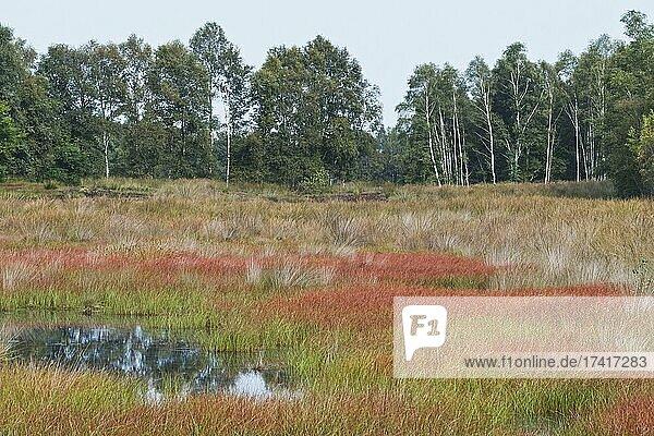 Bog landscape with Common cottongrass (Eriophorum angustifolium) in autumn  Emsland  Lower Saxony  Germany  Europe