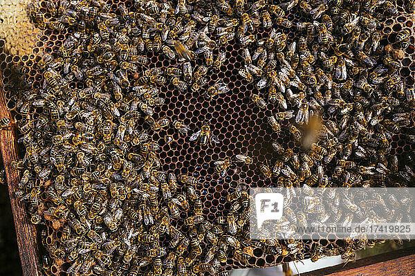 Honey bees on beehive