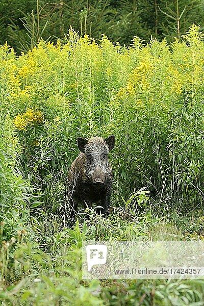 Wild boar (Sus scrofa) cache secured between flowering tall goldenrod (Solidago gigantea) Allgäu  Bavaria  Germany  Europe