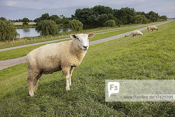 Grasende Schafe auf dem Elbdeich bei Seestermühe (Kreis Pinneberg)