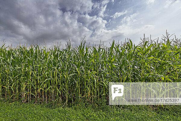 Am Rand eines fast erntereifen Maisfeldes. Die Pflanzen blühen und tragen üppif Früchte. Darüber Woleknhimmel bei Sonnenschein