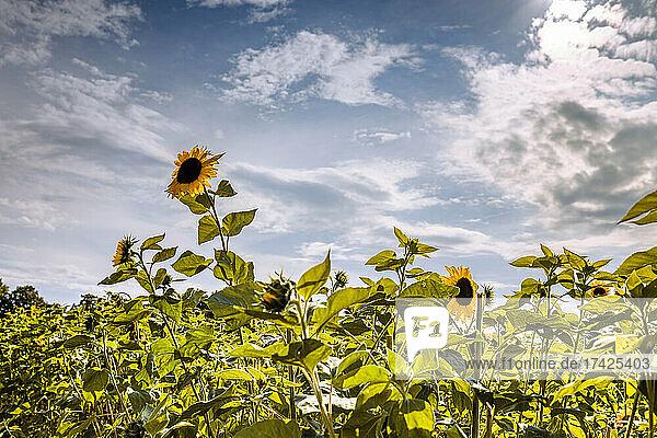 Blühende Sonnenblumen in einem Feld im Sonnenschein