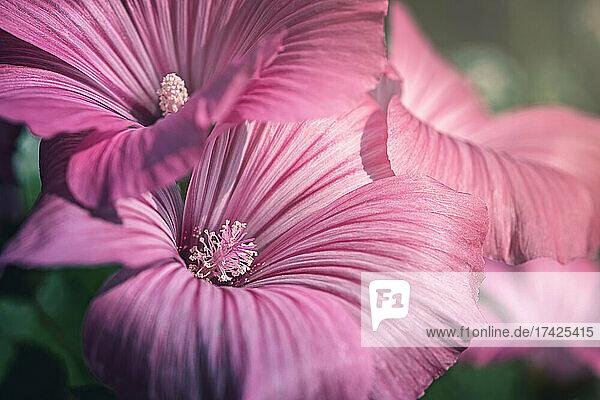 Rosa Beckermalvenblüten (Lavatera trimestris) im Sonnenlicht  Nahaufnahme