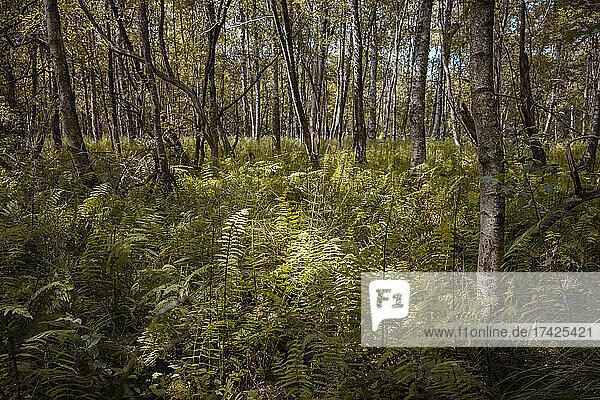Sonnenstrahlen treffen durch das Blätterdach von Birken auf Farne  die auf dem feuchten Boden des Naturschutzgebietes Tävsmoor/Haselauer Moor im Regionalpark Wedeler Au ideale Lebensbedingungen finden