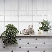 Zwei weiße persische Katzen auf Fenster board
