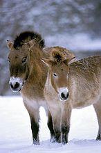 Przewalski Pferd, Equus przewalski