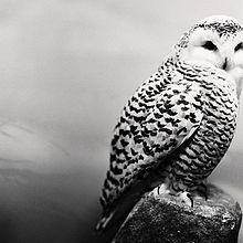 Gefüllte owl