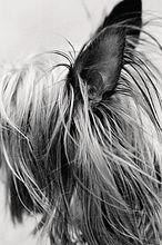 Ohren und langen Haaren kleinen Hund