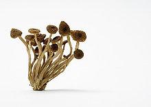 Getrocknet Shimeji Pilzen