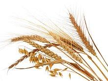 Nahaufnahme der Weizen Stiele