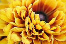 Sonnenhut (Rudbeckia Hirta), Nahaufnahme (Schwerpunkt Blütenblätter)