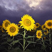 Sonnenblumen in Feld blüht