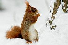 Hörnchen,Sciuridae,Winter,rot,essen,essend,isst