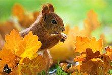 Eichenblatt,Hörnchen,Sciuridae,zwischen,inmitten,mitten,sitzend,Boden,Fußboden,Fußböden,rot,Haselnuss,Herbst,Bayern,füttern