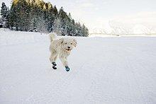 Ein spanischer Wasserhund in Schühchen und durch den Schnee rennend