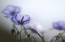 Blau Blumen im Morgenlicht