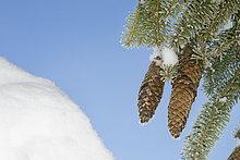 Kiefernzapfen mit Schnee überzogen, Nahaufnahmae