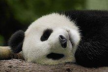 Nahaufnahme ein Panda (Alluropoda Melanoleuca) schlafen
