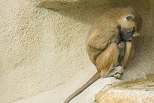 Guinea-Paviane (Papio Papio)