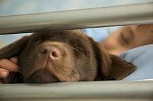 Nahaufnahme eines jungen schlafen im Bett mit einem Schokolade Labrador puppy