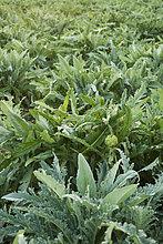 Gespeichert von Artischockenpflanzen, die wachsen