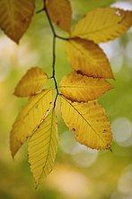 View of beech leaves, Bas-Saint-Laurent region, Quebec.