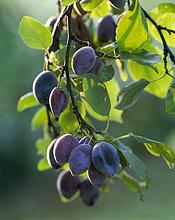 Pflaumen auf eine Pflaumenbaum