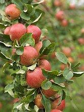 Baum ,ernten ,Zeit ,Apfel ,reif
