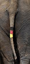 Asiatischer Elefant, auch Indischer Elefant (Elephas maximus), Schwanz bemalt mit Deutschlandflagge, während FIFA WM 2010