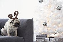 Mops Hund tragen Rentiere Hörner auf Couch neben dem Weihnachtsbaum