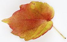 Wilder Wein, Junges, Gelbes Herbstblatt