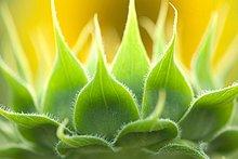 Sonnenblume, helianthus annuus ,sehen ,Blume ,grün ,Knospe ,Feld ,mögen ,Indien ,Maharashtra