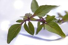 Echter Dost Origano ( Origanum vulgare ) Positive Wirkung auf Verdauungsorgane