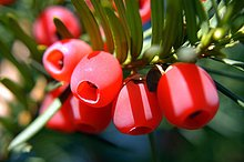 Eibe ( Taxus baccata ) Nadeln und Blüten . Homöopathie Zubereitung der Nadeln bei Hautausschlägen und rheumatischen Erkrankungen . Keine Selbstmedikation - Giftig Taxus bacceta - very toxic