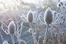 Frost abgedeckt Kuh Petersilie Stiele im winter