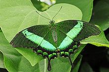 Grüngestreifter Schwalbenschwanz, Grüner Schwalbenschwanz, Neon-Schwalbenschwanz (Papilio palinurus), Vorkommen in Asien, captive, Nordrhein-Westfalen, Deutschland, Europa