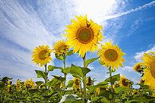 Sonnenblumen wachsen in einem Feld