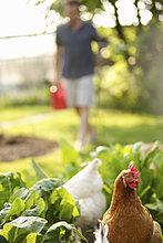 Hühner im Gemüsegarten Roaming