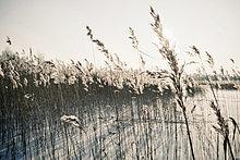 Schwankend im Feld im Winter ernten