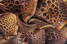 Muster ,Geheimnis ,Wachstum ,Wald ,Kiefer, Pinus sylvestris, Kiefern, Föhren, Pinie ,Küsten-Kiefer, Pinus contorta ,British Columbia ,Igel ,Schnittmuster